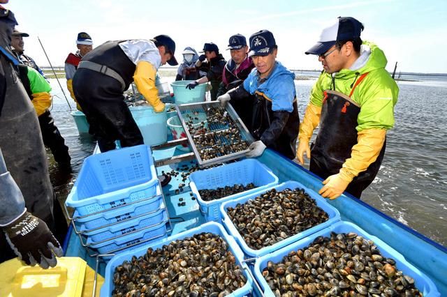 6年ぶりに漁が再開され、船上に水揚げされたアサリ。漁師からは「ふるいにかける必要がないくらい大きいね」と声が上がった=20日午前8時40分、福島県相馬市の松川浦、福留庸友撮影