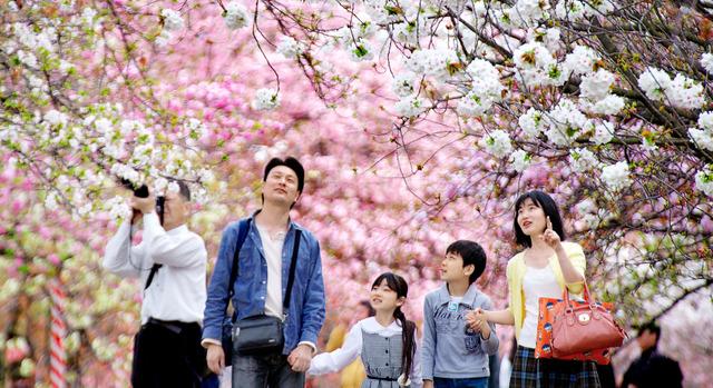 太白(右上)がある大阪造幣局の造幣博物館前。白く大きい花がよく目立ち、足を止める人も多かった=大阪市北区