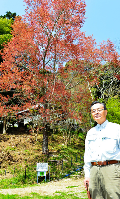 推定樹齢100年のハナノキの治療を進める宗実久義さん=15日、福崎町高岡