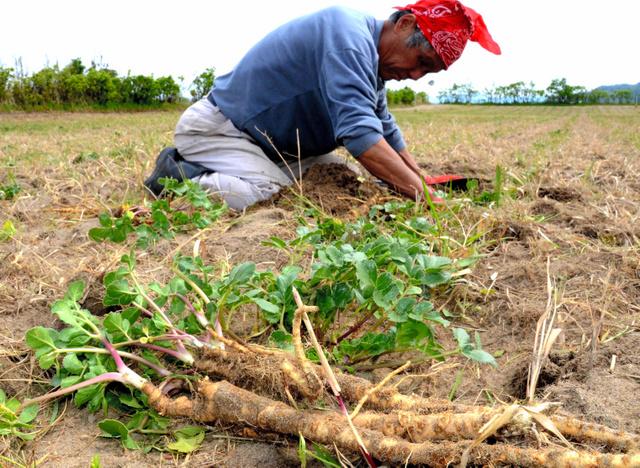 掘り出されたハマボウフウ。根茎が太く、長い=北栄町松神