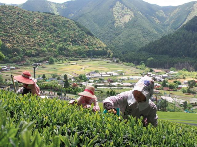 急傾斜の茶畑で茶葉を摘む女性たち=白浜町市鹿野