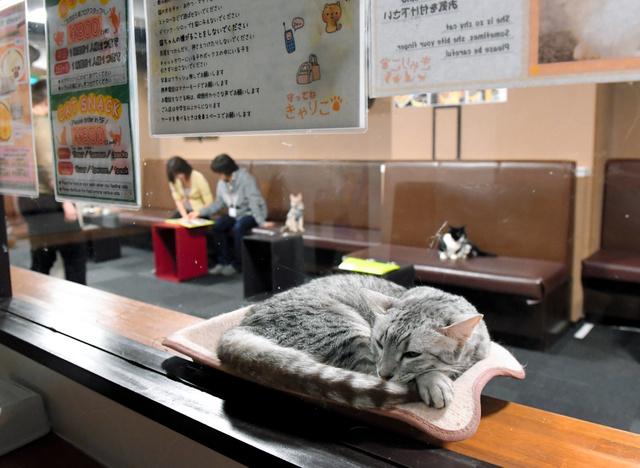 仕事帰りの会社員やカップルらで夜間もにぎわう猫カフェ=東京都新宿区、諫山卓弥撮影