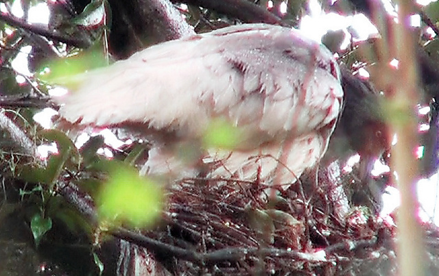 新たに確認されたひな。親鳥のくちばしの先にいる=28日、新潟県佐渡市、環境省提供