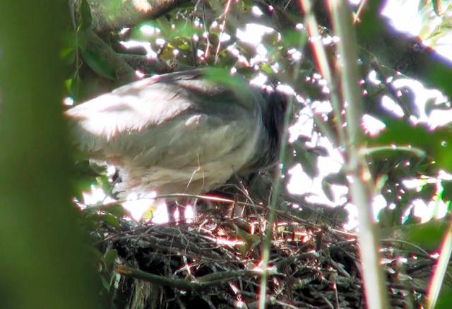 自然界2世のひな2羽にえさを与えるトキの親鳥=環境省提供
