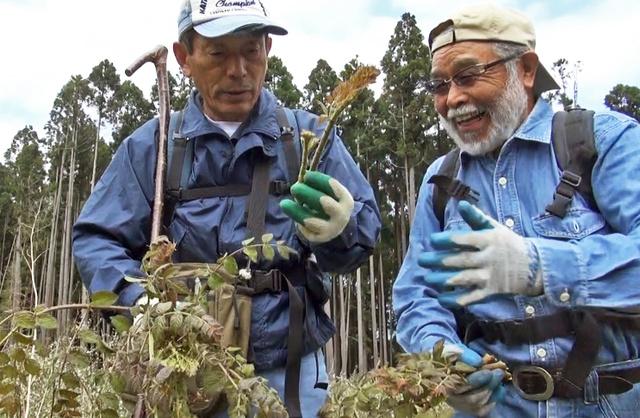 収穫したタラノメ。原田隆邦さん(左)は「これくらいがもっちりして一番おいしいよ」=南部町内船上の県有林