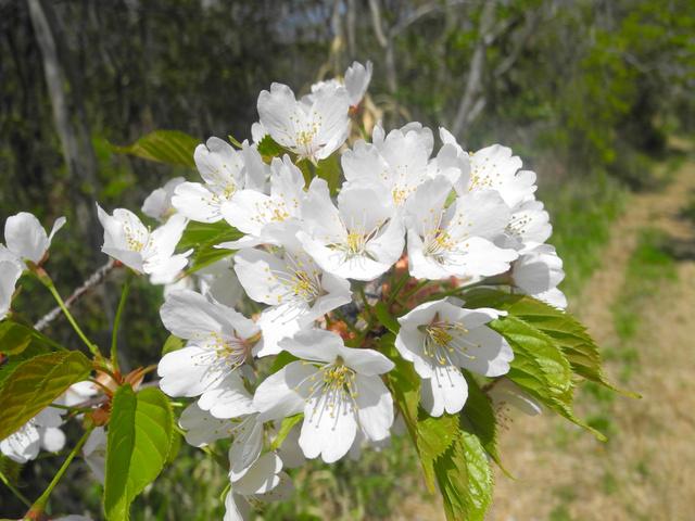 カスミザクラの花=勝木俊雄さん提供