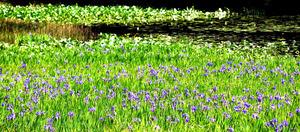 ため池を彩るカキツバタ=美祢市