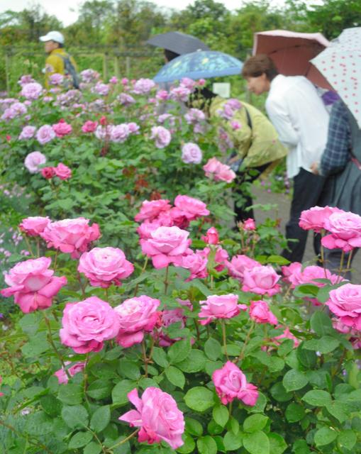 ローズフェスティバルでバラの香りを楽しむ人たち=神奈川県平塚市