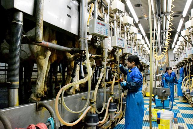 牛の搾乳をする学生たち。生乳は殺菌された後、「畜大牛乳」になる=北海道帯広市の帯広畜産大学