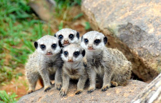 4月9日に産まれたミーアキャットの赤ちゃん4匹=宮崎市フェニックス自然動物園