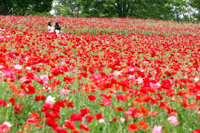 咲き誇るシャーレーポピーの中を歩く女性たち=24日午後、林紗記撮影