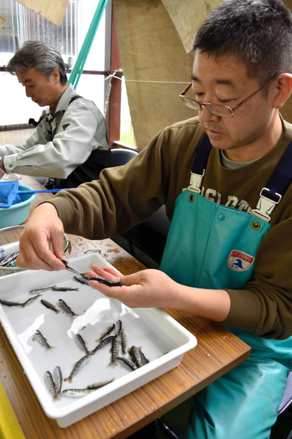 ホンマスの稚魚のあぶらびれを切除する組合員=中禅寺湖漁協作業場