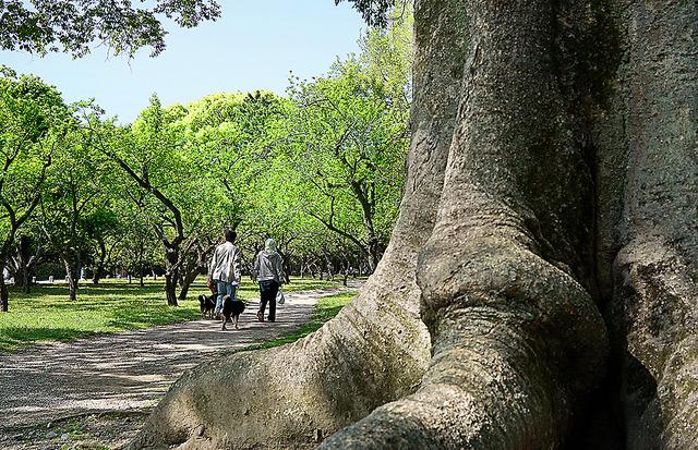梅林にある巨木。幹にはセミの抜け殻がたくさん=京都市上京区