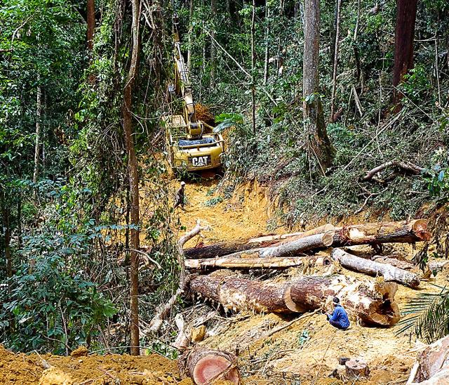 沿岸部の都市ミリから南東に約200キロ。伐採道路から急な斜面を下りたところで熱帯林が伐採されていた。切られた丸太は重機で伐採道路まで運ばれる=4月、マレーシア・サラワク州、神田明美撮影