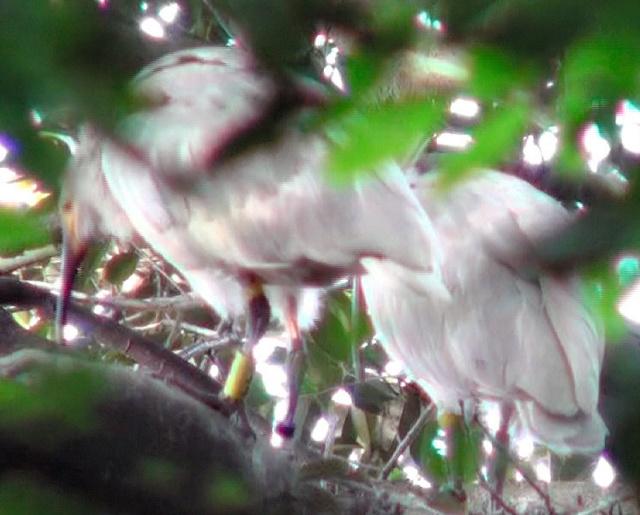 巣立ちが確認された自然界2世のトキのひな(左)。右側はまだ巣立っていないひな=佐渡市、環境省提供
