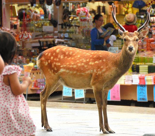 枝角が立派な奈良公園の鹿=奈良市
