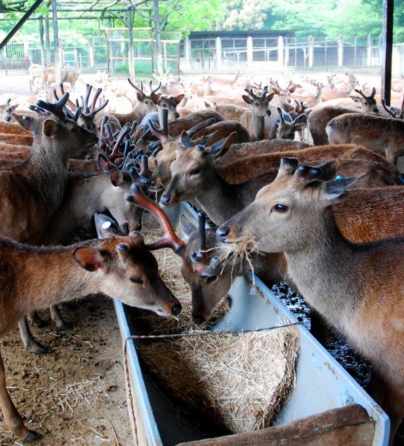 鹿苑(ろくえん)でえさを食べる鹿=奈良市