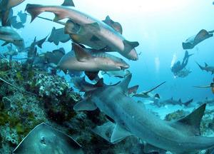 海中を乱舞するドチザメやアカエイの群れ=千葉県館山市沖、金川雄策撮影