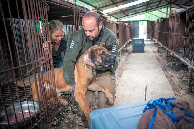 ソウル南東の原州市の飼育場で、米国の動物愛護団体「国際人道協会」のメンバーから運び出される犬。食用犬として飼育されていた=Jean Chung/(C)2016 The New York Times