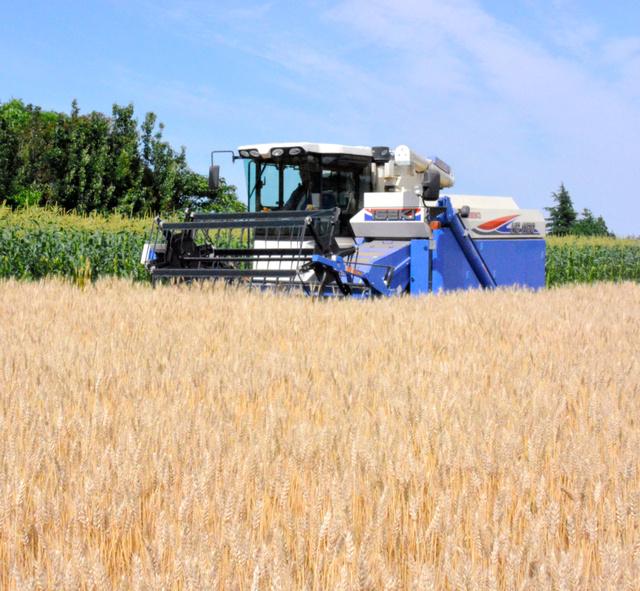 染野実さんの畑では今月から小麦「ゆめかおり」の収穫が始まった=坂東市弓田