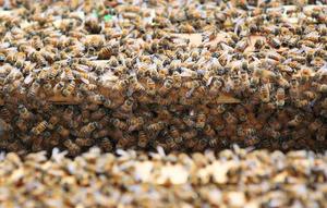 巣箱に群がるミツバチ=竹谷俊之撮影