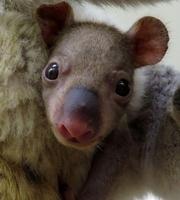 コアラの赤ちゃん、見に来て 埼玉・東松山の動物公園