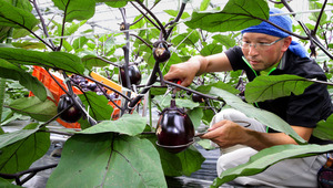 賀茂ナスを収穫する藤井達朗さん。大きさの違う二つの輪がついた道具で、規定の大きさに合ったナスを選抜していく=京都市北区