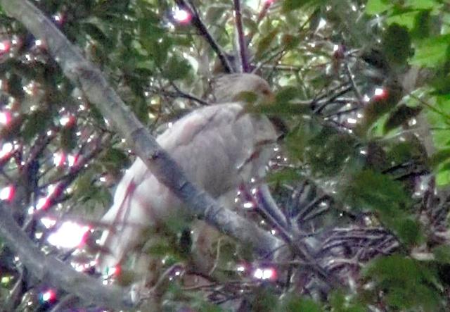 巣立ちするトキのひな=23日、佐渡市、環境省提供