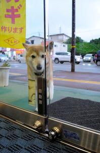 自力で自動ドア開ける被災犬 熊本で客を笑顔に
