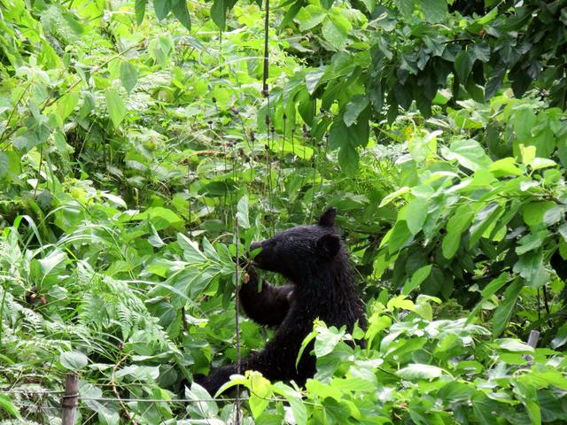 住宅の近くに現れ、木の実を食べるクマ(17日、相模原市緑区牧野、住民提供)