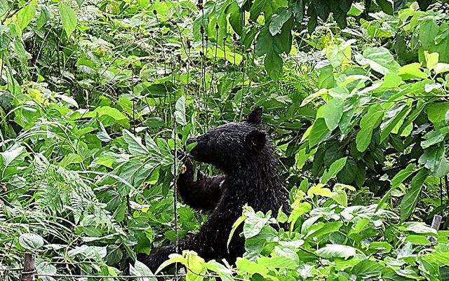 住宅の近くに現れ、木の実を食べるクマ=17日、相模原市緑区牧野、住民提供