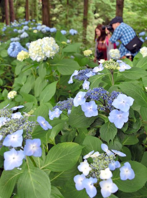 梅雨の合間、アジサイの青色が周りの緑に映えた=福島市松川町の土合舘公園