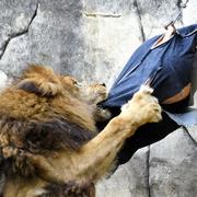 ライオンがぶり、ワイルド加工 「ズージーンズ」販売へ