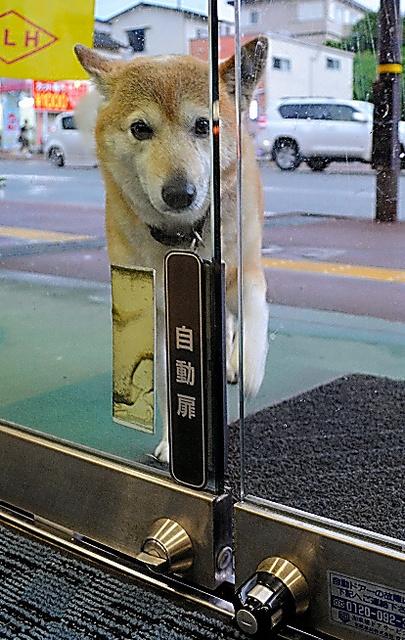 自動ドアの犬用ボタンを押して開けるジャック=熊本市東区