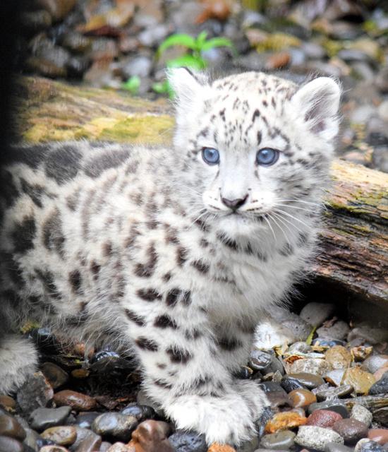 一般公開されたユキヒョウの赤ちゃん=旭川市の旭山動物園