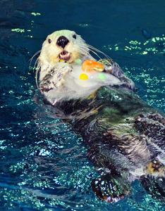 ラッコのパタ、20歳のお祝いに氷ケーキ 大阪・海遊館