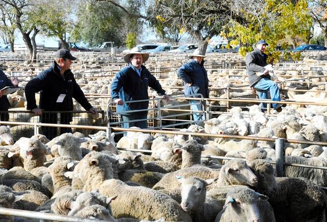 朝の羊市場には、競売参加者らの威勢の良いかけ声が響いていた=クータマンドラ、郷富佐子撮影