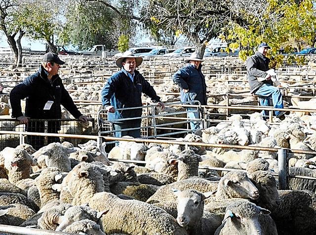 朝の羊市場には、競売参加者らの威勢の良いかけ声が響いていた