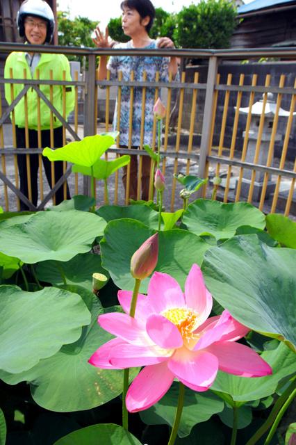 薄紅色の花を開いた大賀ハス=富山市梅沢町2丁目