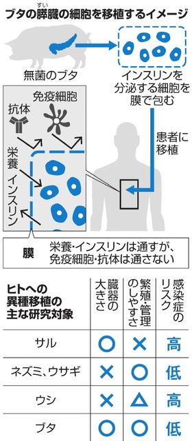 ブタの膵(すい)臓の細胞を移植するイメージ/ヒトへの異種移植の主な研究対象