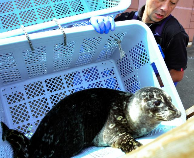 漁業被害もたらすアザラシ、水族館で第二の人生 北海道