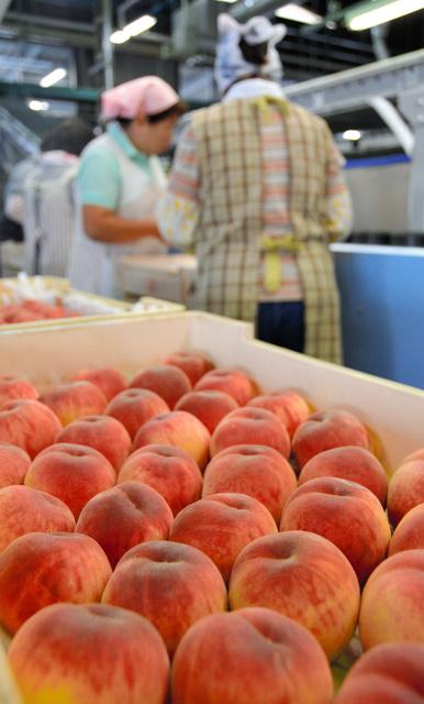 桃は従業員によって一つずつ傷の有無が確かめられる=福島市のJAふくしま未来湯野共選場