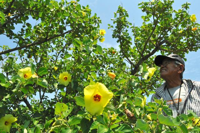 開花したハマボウの花=洲本市 ...
