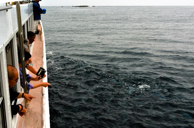 遊覧船のへさきで船員がエサをまくと、タイが数十匹も集まり、海面が波立った=千葉県鴨川市の鯛ノ浦