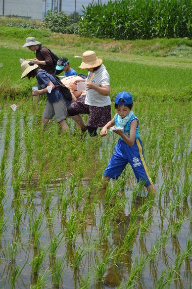 小さな網を手に、田の中の生きものを探す「田んぼの生きもの調査」の参加者たち