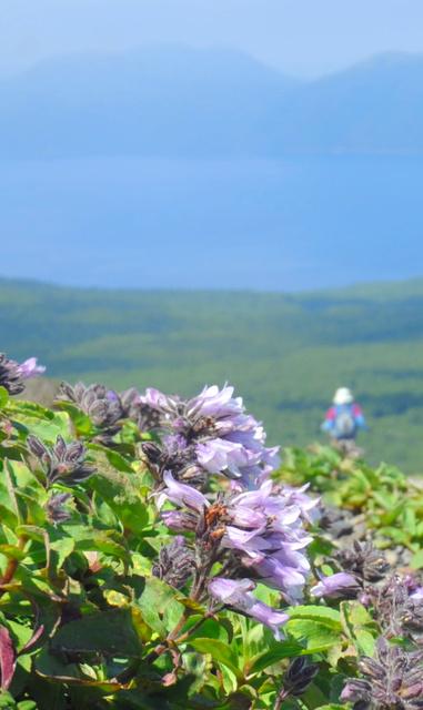 支笏湖を眼下に見下ろす樽前山の登山道わきに咲く「タルマイソウ」=苫小牧市