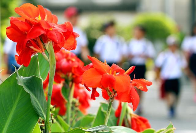 大州小の校庭わきに咲くカンナ。登校してきた児童たちが元気よく通り過ぎていった=広島市南区、青山芳久撮影