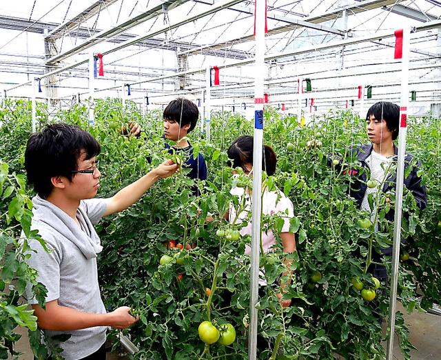 植物工場内でトマトの手入れをする学生=いずれも千葉県松戸市