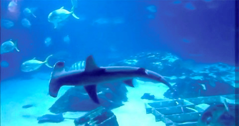 体を斜めにして泳ぐヒラシュモクザメ(米アトランタのジョージア水族館、国立極地研究所・渡辺佑基准教授提供)