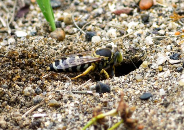 植物園で営巣地が見つかった絶滅危惧種のニッポンハナダカバチ=筑波実験植物園